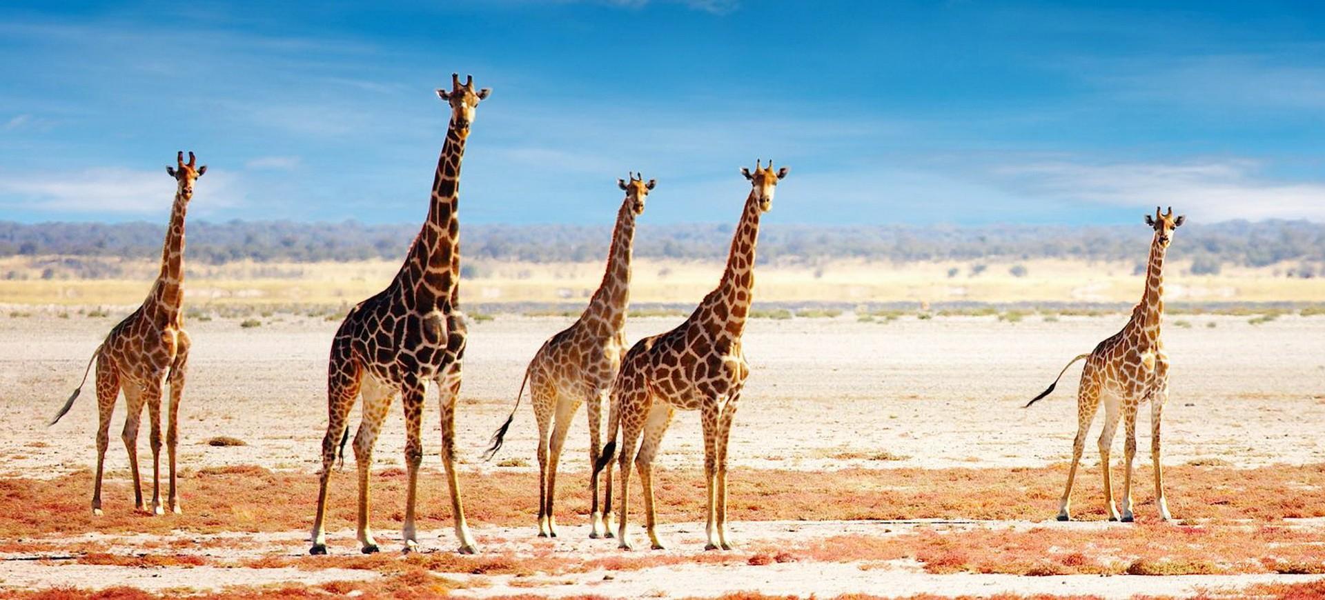 Namibie Parc national d'Etosha Girafes