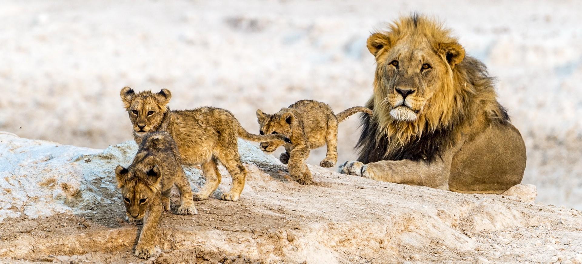 Namibie Etosha Famille de lions
