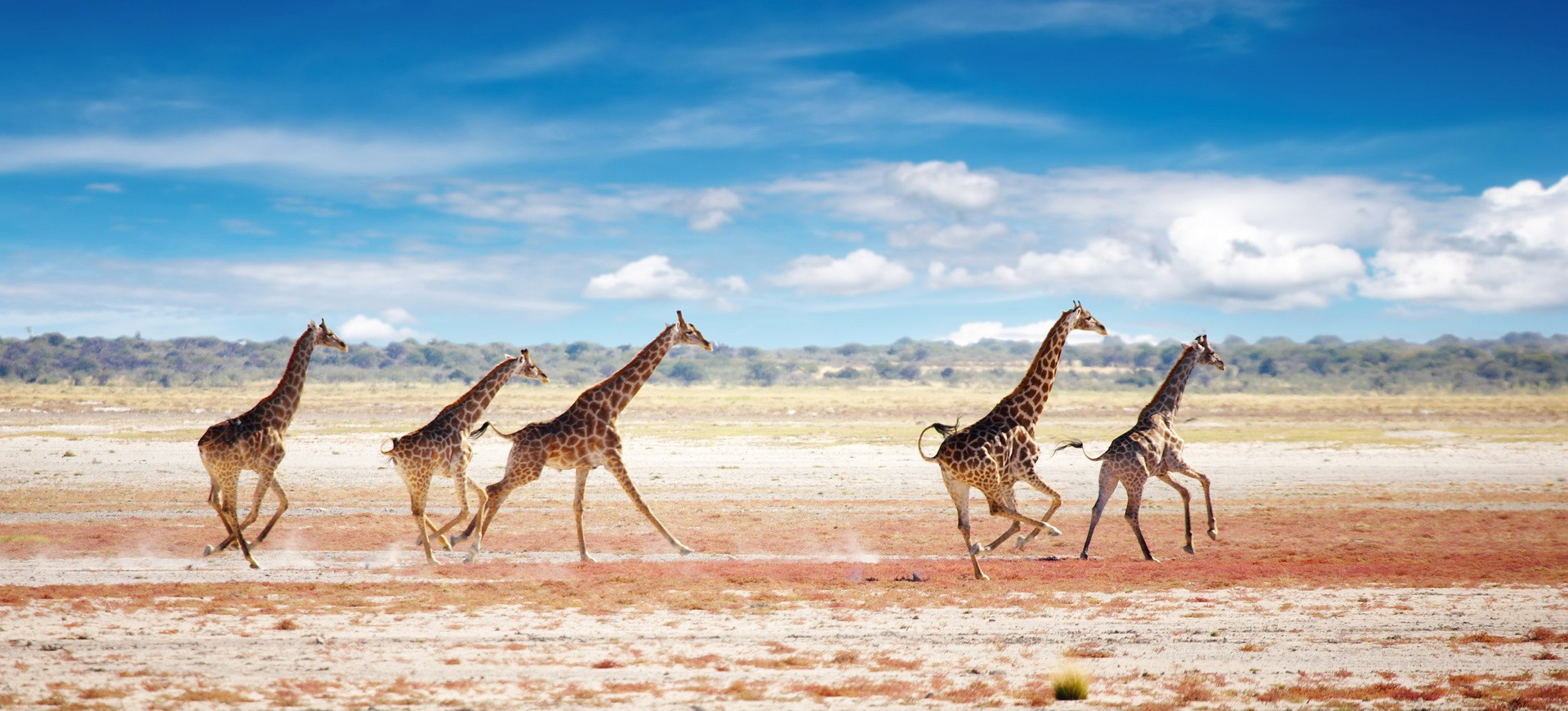 Namibie Etosha Girafes