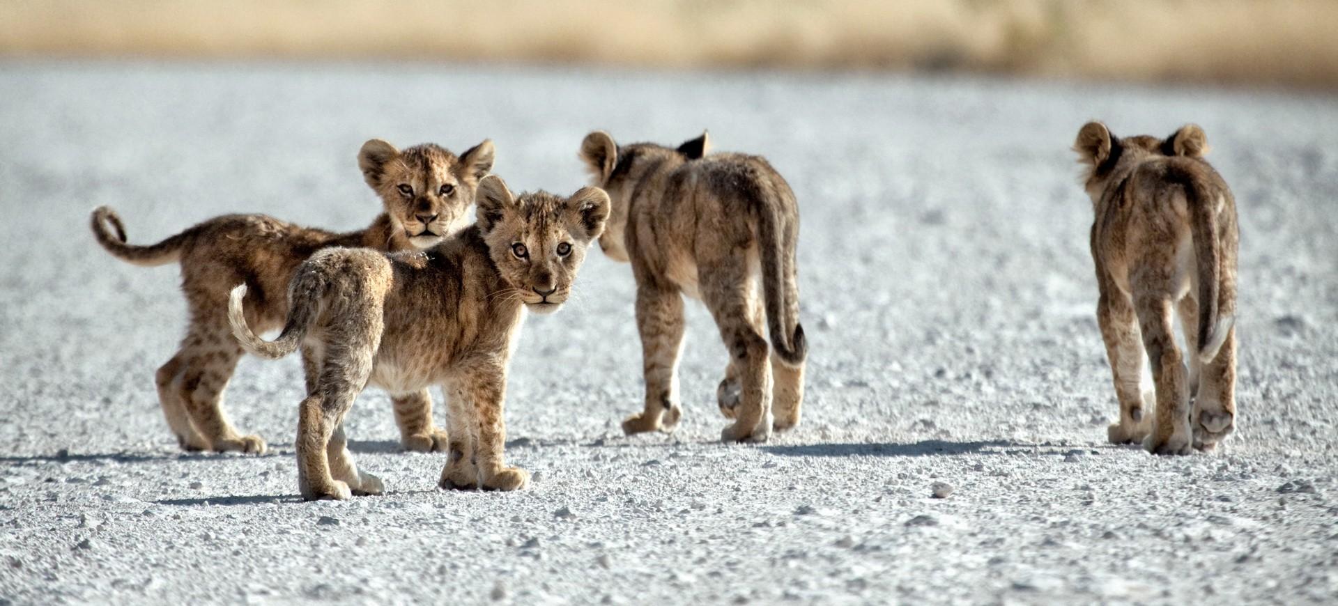 Namibie Etosha Lionceaux